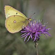 Clouded Yellow Butterfly Poster