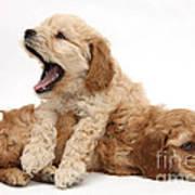 Cockerpoo Puppies Poster