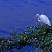 Common Egret Poster