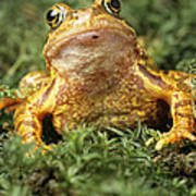 Common Frog Poster