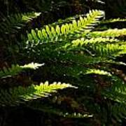 Common Polypody Poster