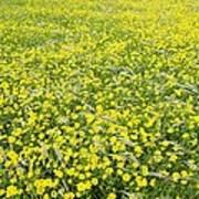 Corn Marigolds (chrysanthemum Segetum) Poster