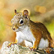 Cute Red Squirrel Closeup Poster