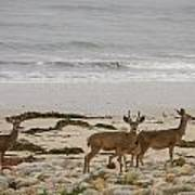Deer On Beach Poster