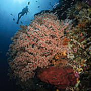 Diver Over Soft Coral Seascape Poster