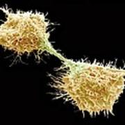 Dividing Fibrosarcoma Cells, Sem Poster