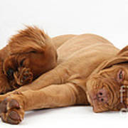 Dogue De Bordeaux And Cavalier King Poster