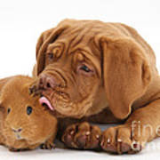 Dogue De Bordeaux Puppy With Red Guinea Poster