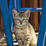Domestic Cat Felis Catus Kitten, Germany Poster
