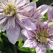 Double Clematis Named Empress Poster