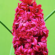 Double Hyacinth 'hollyhock' Poster