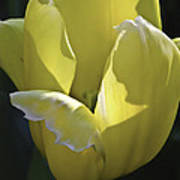 Easter Yellow Tulip Poster
