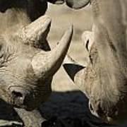 Eastern Black Rhinoceros Poster by Joel Sartore
