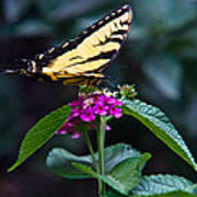 Eastern Tiger Swallowtail 3 Poster