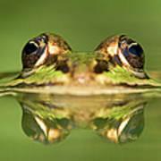 Edible Frog Rana Esculenta Poster