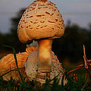 Evening Mushroom Poster