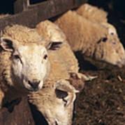 Ewes Feeding Poster by David Aubrey