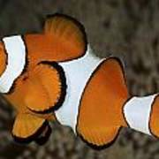 False Clownfish Poster
