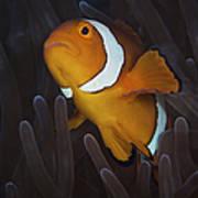 False Ocellaris Clownfish In Its Host Poster