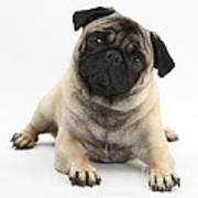 Fawn Pug Poster