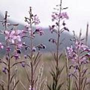 Fireweed In A Sea Of Grass Poster