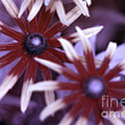 Flower Rudbeckia Fulgida In Uv Light Poster by Ted Kinsman
