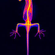Flying Gecko X-ray Poster