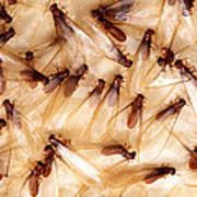 Formosan Termites Poster