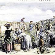 France: Grape Harvest, 1854 Poster by Granger