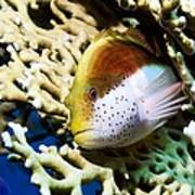 Freckled Hawkfish Poster
