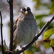 Gambel's White Crowned Sparrow Poster