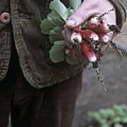 Gardener Holding Freshly Picked Radishes Poster