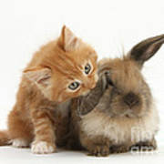 Ginger Kitten And Young Lionhead-lop Poster