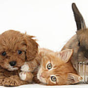 Ginger Kitten With Cavapoo Pup Poster