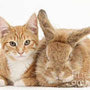 Ginger Kitten With Sandy Lionhead-cross Poster