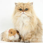 Golden Chinchilla Persian Cat Poster
