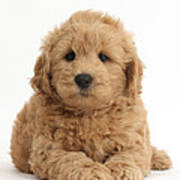 Goldendoodle Puppy Poster