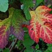 Grape Leaves Poster