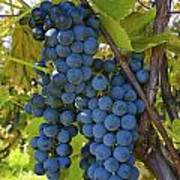 Grapes On A Vine Sutton Junction Quebec Poster
