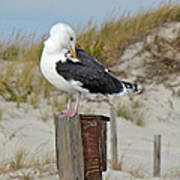 Great Black-backed Gull    Larus Marinus Poster