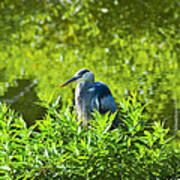 Great Blue Heron Hiding Poster