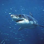 Great White Shark Carcharodon Poster