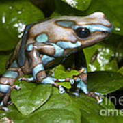 Green And Black Poison Frog Poster