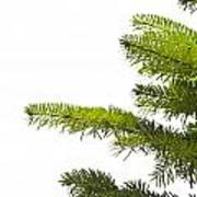 Green Branches Of A Christmas Tree Poster