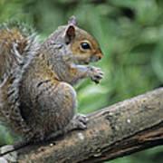 Grey Squirrel Poster by David Aubrey