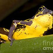 Harlequin Frog Poster