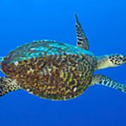 Hawksbill Sea Turtle, Kimbe Bay, Papua Poster