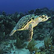 Hawksbill Turtle On Caribbean Reef Poster