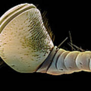 Hercules Beetle Antenna, Sem Poster