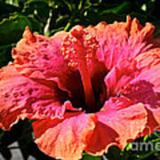 Hibiscus Blossom Poster